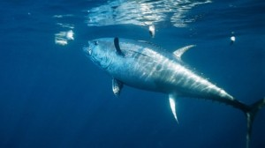 Are the tuna wicked or simply just misunderstood?